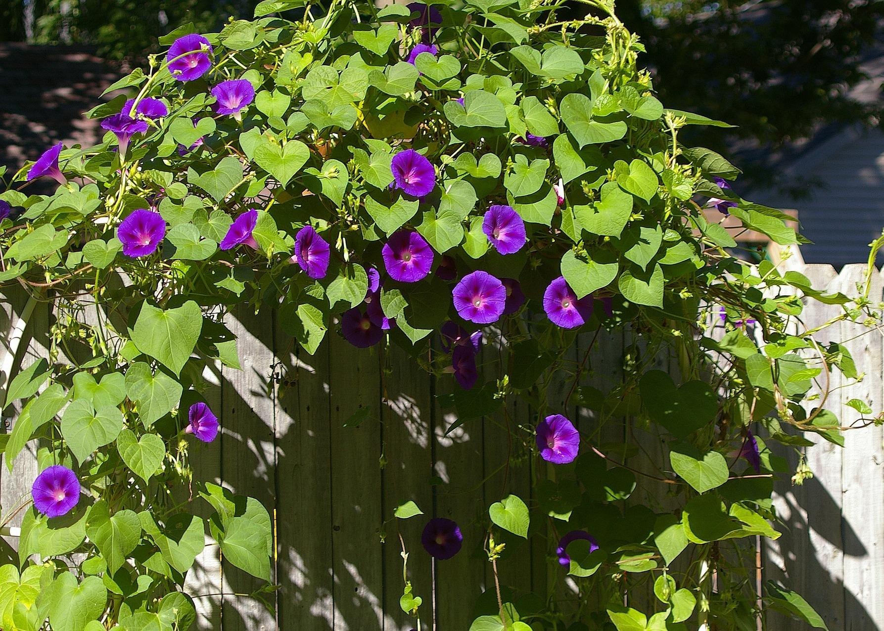 tanaman rambat morning glory