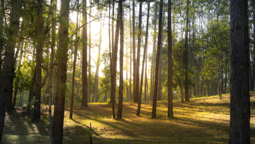 Spesies Pohon Pinus