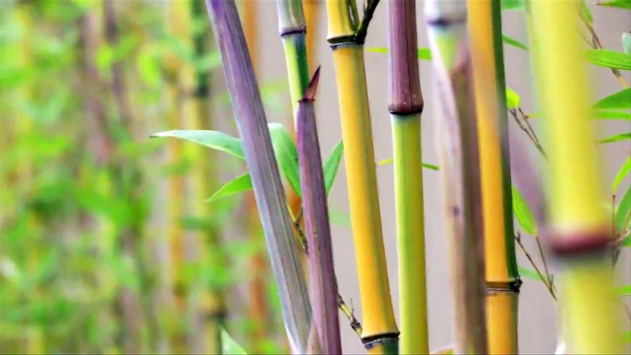 jenis-jenis pohon bambu