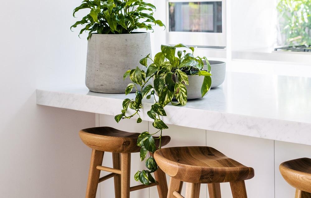 tanaman indoor sirih gading