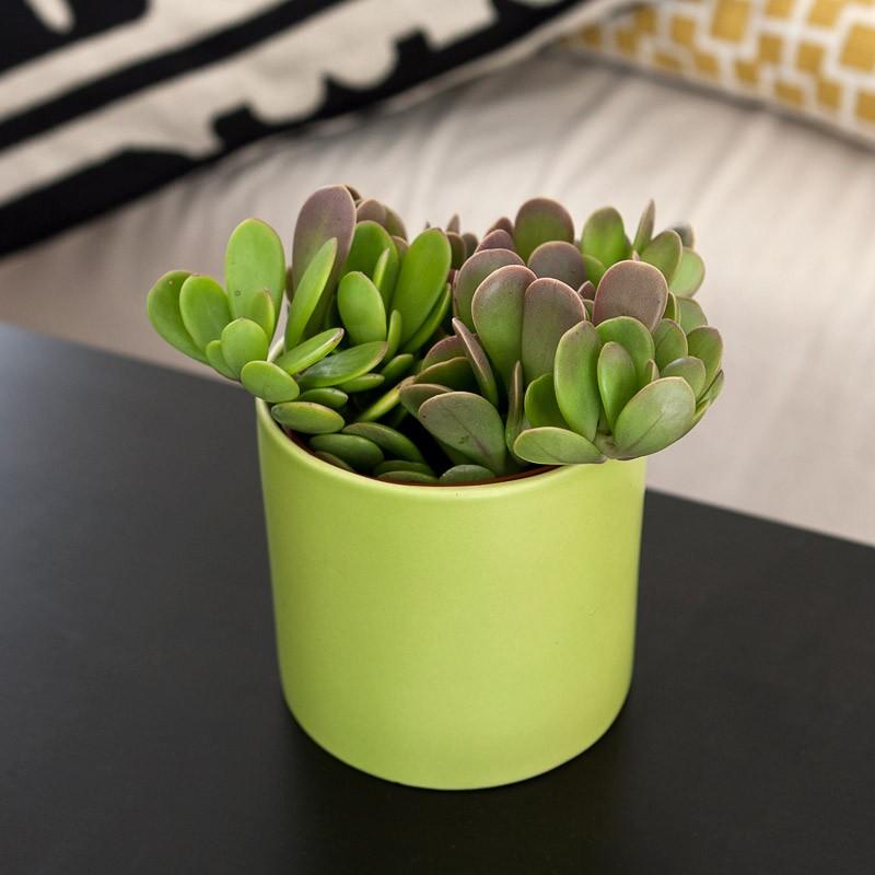 tanaman jade