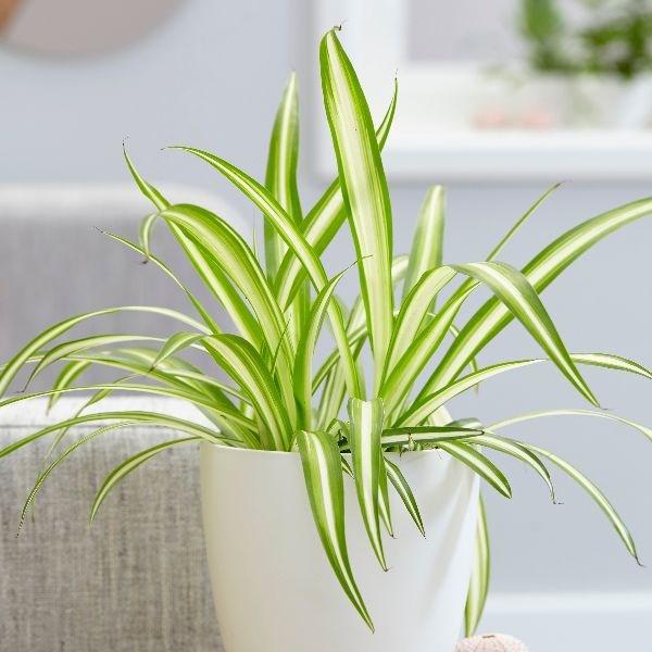 tanaman indoor spider plant