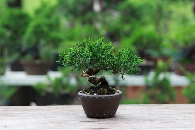 bonsai tanaman hias
