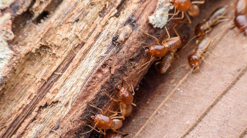 hama rayap kayu